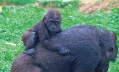 Baby gorilla at Bristol Zoo Gardens celebrates her first birthday